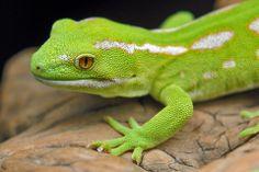 NZ Green Gecko