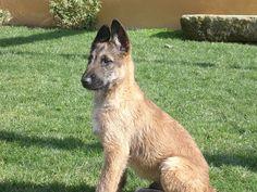 Ovejero Belga Laekenois - Chien de Berger Laekenois / Belgian Shepherd Dog Laekenois