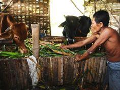 Suratni (48) a former leper feeds his cows at Babat Jerawat Leprosy Shelter in Surabaya