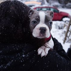 Stormy is just not crazy about the snow. This is how our attempt at a snow walk ended. Photo by Sarah Race (www.sarahrace.com) #bostonterriersofinstagram #bostonterriers #bostonterrierpuppy #puppies #bostonterrier #newpuppy #pupsofinstagram #puppylove #bostterrier_feature #bostonterrierlove #bostonterrierlife #bostonterrierforever #bostonterrier cult #doglove #eastvandog #cute #bluebostonterrier #dogstagram #cutepuppy #ilovemydog #stormageddon #greybostonterrier #odearrrphotos