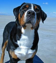 Greater Swiss Mountain Dog  Comparing Breeds Website: http://dog-breeds.findthebest.com/compare/79-157/Greater-Swiss-Mountain-Dog-vs-Weimaraner
