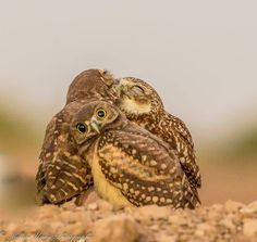 """""""Burrowing Owlet Embarrassed By Kissing Behind Him!"""""""