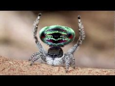 Jumping peacock spider, so cool!