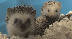 One Minute Of Prickly, Sleepy, But Oh So Very Cute Hedgehogs. You're Welcome.