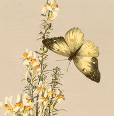 Today I'm sharing this Beautiful Vintage Yellow Butterflies Image!  These are two gorgeous yellow butterflies with a dark green trim around the edge of the wings, one has its wings spread open and the other slightly open.  Both butterflies are flying around these yellow and white flowers.  So nice to use in your Spring Craft or...Read More »