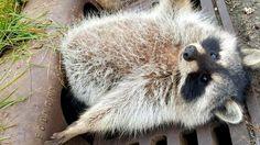 В Чикаго спасли застрявшего в сливной решетке толстого енота