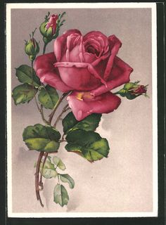 old postcard: AK Rote Rose mit Knospen Rose Oil Painting, Painting The Roses Red, Watercolor Fruit, Watercolor Flowers, Flower Images, Flower Art, Beautiful Flower Quotes, Rose Sketch, Rose Flower Wallpaper