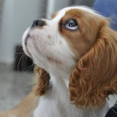 More About Smart Cavalier King Charles Spaniel Personality King Charles Puppy, Cavalier King Charles Dog, King Charles Spaniel, Puppies And Kitties, Cute Puppies, Cute Dogs, Doggies, Spaniel Puppies, Puppy Eyes