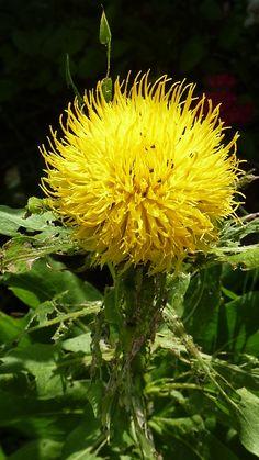 This strange yellow globe flower is a relative of the common cornflower - Centaurea