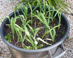Z jedného strúčika celá hlávka a nemusíte nikam chodiť: Najjednoduchší spôsob, ako pestovať zimný cesnak na balkóne! Beautiful Gardens, Pesto, Gardening, Amazing, Flowers, Plants, Balcony, Lawn And Garden, Plant