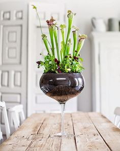This is just awesome! A large sized wine glass filled with carnivorous plants. LOVE. Remember, don't use potting soil.