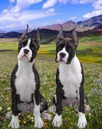 Black Boxer Puppies Purebred Boxer Puppies For Sale In Nj Crafts Pinterest Boxer Puppies
