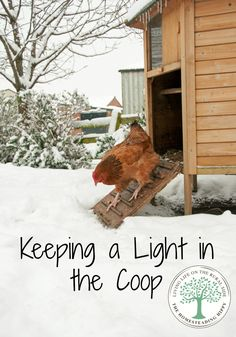 A chicken needs a certain number of daylight hours to lay consistently.  Do you supplement in the winter months?  Here's why we do.  The Homesteading Hippy #homesteadhippy #fromthefarm #theurbanchicken: