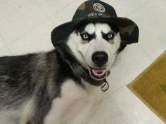 Siberian Husky sporting a camo hat