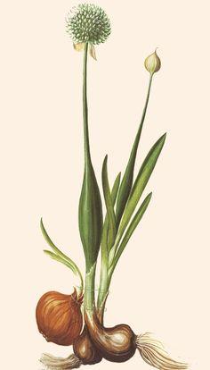 Die Gartenzwiebel (Allium cepa L. Plant Illustration, Botanical Illustration, Vegetable Illustration, Botanical Drawings, Botanical Prints, Onion Flower, Planting Onions, Vegetable Prints, Plant Tattoo