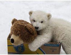 どっちが本物!? クマのぬいぐるみと遊ぶ、ぬいぐるみみたいな白クマの赤ちゃん♪ | Pouch[ポーチ]