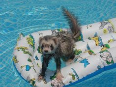ferret takes a swim!