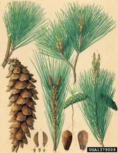 Eastern White pine: Resin used as a fire extender when mixed with tinder material; mixed with crushed charcoal to make a natural epoxy; fire kindling; Make pine needle tea from the green pine needles – very rich in Vitamin C; Inner bark layers are edible; Harvest pine nuts from the pine cones; Pine needles make excellent fire tinder; natural insulation material; lower, dry, dead branches of the pine tree (squaw wood) is often some of the driest fire kindling available; Candles and lamps too.