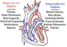 A anatomia cardíaca é uma das mais importantes para a compreensão do funcionamento do corpo humano. Saiba mais sobre como realmente é essa bomba sanguínea e desmistifique a imagem dos poetas.