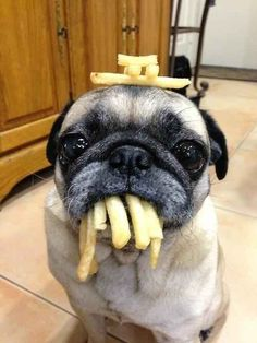 Would you like an or Would you like an order of fries with your pug? Would you like an or Would you like an order of fries with your pug? Funny Dog Pictures, Animal Pictures, Pug Pics, Random Pictures, Pug Love, I Love Dogs, Cute Baby Animals, Funny Animals, Animals Dog