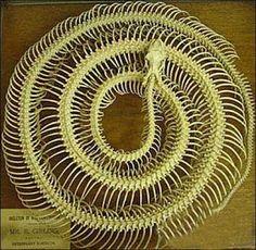 esqueleto de serpente