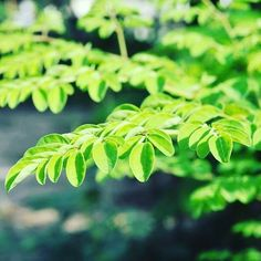 """Happy Monday everyone! #Moringa has made it to the WSJ! Read """"The Next Hot Trends in Food"""" - where moringa is hailed the """"new super green"""". The article also highlights """"The leaves contain high levels of calcium potassium and protein as well as vitamins A B C D and E."""" Read more at !  #superfood #healthybody #moringatea #healthylife #consciousliving #foodie #health #healthy #happy #happiness #choosehappiness #eatwell #strength #strongbody #fitness"""