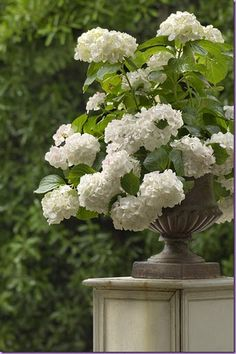 White hydrangeas. You can see white flowers in the garden at night. Create a moon garden by filling an area with all white and silver flowers and plants, and fragrant flowers.