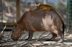 A squirrel monkey rides on the back of a capybara at the Tobu Zoo in Miyashiro, Saitama prefecture, north of Tokyo, on August 22, 2015.