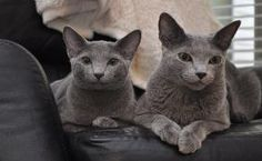 Russian Blue Kittens at The Big Creek Cattery | Russian Blue Cats