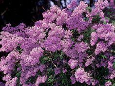 english lilac bush
