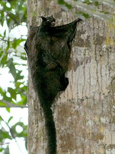 Large Black Flying Squirrel - Aeromys  tephromelas