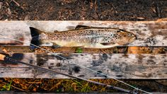 Salmon at River Kemijoki, Savukoski, Finland; flyfisking; by Heikki Rantala