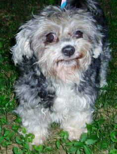 Meet Pearl, a Petfinder adoptable Shih Tzu Dog | Rockville, MD | Tzu/Poodle MixMy name is Pearl. I was originally rescued out of a high kills shelter in SC. When I...