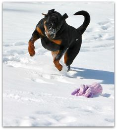 Welcome To Greendale Rotts Rottweiler Puppies, Rottweilers, Jaba, Friends, Dogs, Animals, Amigos, Animales, Animaux