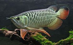 scleropages formosus | Thanh long ( Scleropages formosus )