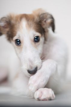 Borzoi puppy ~ how beautiful ~ and, those eyes melt my heart.
