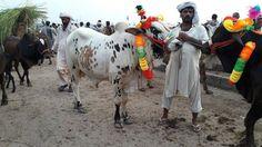 Members kitnau ka hona chayay yeh bachra ? Join us on www.fb.com/Startfun Visit us www.BakraMandiPakistan.com