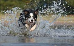 Border Collie, Jump,