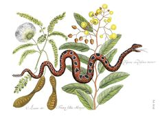 Mark Catesby, Small Rattle-snake - Vipera caudisona minor. Plate 42, Vol 2: Natural History of Carolina, Florida and The Bahama Islands - First Edition, 1731.