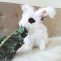 "@cleo_thebunny says ""EAT YO GREENS""  #cute #bunny #eatyourgreens  Or order our DETOX GREEN COFFEE or GREEN GARCINIA TEA!  www.coffeenotcoffee.com.au"