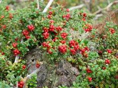 Preiselbeere 'Red Pearl' - Vaccinium vitis-idaea 'Red Pearl'