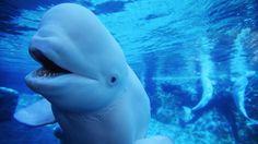 http://kids.nationalgeographic.com/animals/beluga-whale/