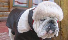 Order AVIATOR English Bulldog Coat Hat by MeatyWildman on Etsy