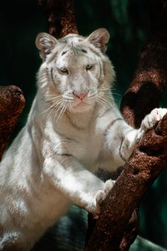 White Siberian Tiger ~ Photograph by Catherine Walsh Big Cats Art, Cat Art, Tiger Pictures, Animal Pictures, Beautiful Cats, Animals Beautiful, Gato Grande, Siberian Tiger, Bengal Tiger