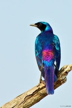 Burchell's Starling - southern Africa Colorful Feathers, Colorful Birds, Bird Feathers, All Birds, Love Birds, Pretty Birds, Beautiful Birds, Pigeon, Starling