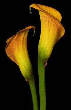 Flowers Nature, Exotic Flowers, Yellow Flowers, Beautiful Flowers, Calla Lillies, Calla Lily, Zantedeschia, Glass Photography, Nature Sketch