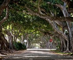 One of my favorite views of South Florida.. Streets with Banyan Tree Canopies.  Love these trees so beautiful.