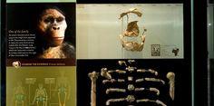 Reprodução do fóssil Lucy é exibida em Nova York (Foto: Reprodução/American Museum of National History)