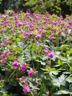Geraniums, Planters, Flowers, Planter Boxes, Plant, Flower Pots, Royal Icing Flowers, Flower, Florals