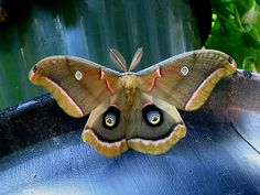 Said to be the most common of North America's giant silk moths, the Polyphemus was named after the one-eyed giant of Greek mythology because of the large eyespots on its hindwings. The spots on all four wings are transparent.